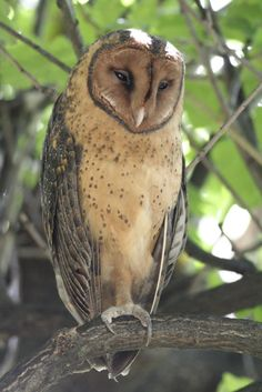 Tasmanian Masked Owl (Tyto castanops). Photo by Murray Lord. Location: Hobart, Tasmania, Australia.