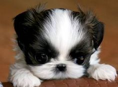 your home ready for your new Shih Tzu Puppy is pretty similar to a human. - Hunde babys -Getting your home ready for your new Shih Tzu Puppy is pretty similar to a human. Shitzu Puppies, Tiny Puppies, Teacup Puppies, Puppies For Sale, Cute Puppies, Cute Dogs, Goldendoodles, Puppys, Shih Tzu Hund
