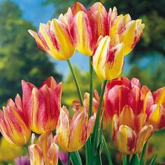 ♥GK♥ 77  17th CENTURY TULIP BULB-Top 10 Most Expensive Flowers (10,000 guilders-$5,700)