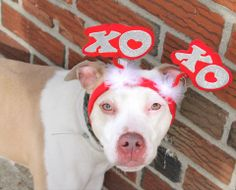 TO BE DESTROYED 2/22/14 Brooklyn Center -P  My name is ROSE. My Animal ID # is A0991478. I am a female white and tan pit bull mix. The shelter thinks I am about 4 YEARS old.  I came in the shelter as a STRAY on 02/11/2014 from NY 11207, owner surrender reason stated was STRAY.  https://www.facebook.com/photo.php?fbid=757307760948772&set=a.611290788883804.1073741851.152876678058553&type=3&theater