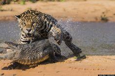 Caliandra do Cerrado: Onça pintada ataca e mata jacaré no Pantanal