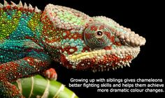 It's long been assumed that reptiles are non-social, so their behaviour is determined by their genes, not by their interactions with members of the same species. But Australian scientists have conducted the first study on young reptiles reared without their siblings to discover that social interactions are crucial in the development of their fighting skills and colour-changing abilities. This is particularly a relevant finding for zoos and lizard pet owners.