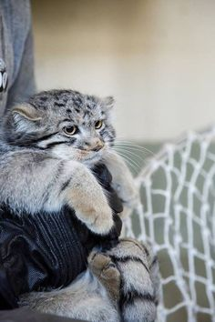 Pallas Cat Baby Animals, Funny Animals, Cute Animals, Funny Cats And Dogs, Cats And Kittens, Beautiful Cats, Animals Beautiful, Felis Manul, Pallas's Cat