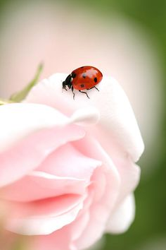 ☀Ladybug On Pink Rose by Sven Hastedt*