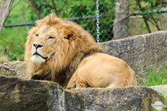 Der Löwe Caesar in der Tierwelt Herberstein in der Oststeiermark Animals, Stones, Animales, Animaux, Animal, Animais