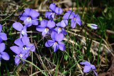 """""""Bird's Foot Violet""""Wildflower by Becky Wylie ( Wildcat Glades Conservation & Audubon Center)"""