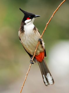 Colorful birds - Red-whiskered Bulbul bird.