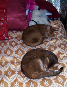 Boudoir Queen kitties Red and Ruddy Abby- The Ruddy passed away age 20