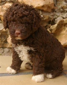 perro de agua español Pet Dogs, Dogs And Puppies, Dog Cat, Doggies, Spanish Water Dog, Portuguese Water Dog, Dog Photos, Animal Pictures, Dog Breeds