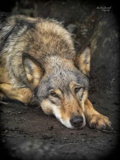 Relax ! by Kai Buddensiek, via 500px - Eastern Wolf   (Canis lupus lycaon)  (Wisentgehege Springe) -  The look in the eyes goes straight to my soul.  The fearsome wolf has another, more tranquil side - but not forever.  We are all of us, wolves and humans, a mass of contradictions.