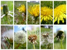 (An Ode to) THAT DANDELION!