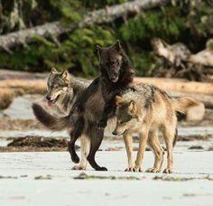 Ho mes beaux loups <3 <3 <3