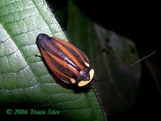 Drake Bay, Costa Rica - A rare find, this canopy cockroach is one of 150 species… German Cockroach, Spider Species, A Bug's Life, Roaches, Nicolas Cage, Beautiful Bugs, Little Critter, Bugs And Insects, Rock Painting