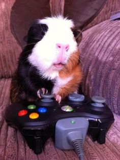 Guinea piggies like to play video games too.