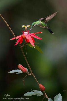 Beautiful Bird Flying Costa Rica 36 Ideas For 2019 Most Beautiful Birds, Pretty Birds, Love Birds, Animals Beautiful, Hummingbird Wallpaper, Hummingbird Pictures, Little Birds, Colorful Birds, Bird Art