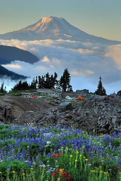 Wildflowers, tents. Mt. Adams, Washington