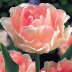 "Angelique Tulip - lightly fragrant, mid to late spring, H 16-18"", zone 3-8"