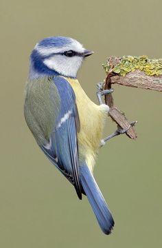 Blue Tit by TomMelton