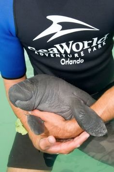 Baby manatee - Love to swim with the manatees