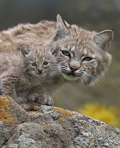 "139 Likes, 1 Comments - Animals - Wildlife (@wildlifeowners) on Instagram: ""Lynx and cub 