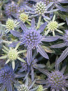Eryngium planum Blue Hobbit Numerous thistle-like blue flowers.