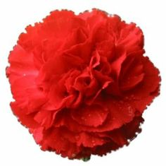 """50 SCARLET RED CARNATION Caryophyllus Grenadin Flower Seeds *Comb S/H by Seedville. $2.00. LIGHT REQUIREMENTS: Sun - Part Shade  . . .  SOIL / WATER:  Average. PLANT HEIGHT: 24""""  . . . PLANT SPACING: 12 - 18"""". HARDINESS ZONE:  5 - 10. BLOOM TIME:  Late Spring - Mid Summer. The fragrant, long lasting flowers of the Carnation are absolutely wonderful for cut or dried flower arrangements. They are a favorite of florists everywhere, and now you can grow your own! Carnatio..."""
