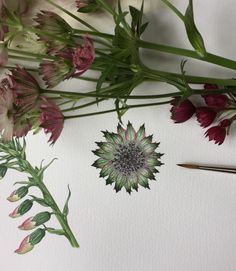 Astrantia in watercolour by Anna Dowd Art, Pieces of Nature.