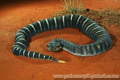 Acanthophis antarcticus - Common Death Adder (scaleless)