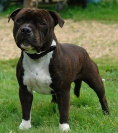 staffordshire bull terrier | Le Staffordshire Bull Terrier appelé aussi plus familièrement ... Staff Bull Terrier, Pitbull Terrier, Bull Terriers, Pet Dogs, Dogs And Puppies, Dog Cat, Doggies, Staffy Dog, Nanny Dog