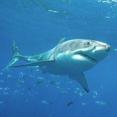 GW Underwater Room, Underwater World, Orcas, Shark Bites, Great White Shark, Shark Week, Ocean Life, Sharks, Slime