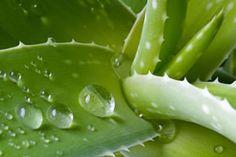 Wassertropfen auf Aloe Vera Pflanze