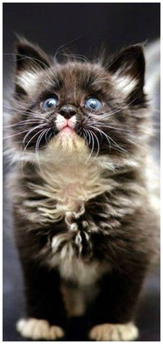 ideas cats and kittens adorable faces for 2019 Fluffy Kittens, Cute Cats And Kittens, Cool Cats, Kittens Cutest, Beautiful Kittens, Pretty Cats, Animals Beautiful, Cute Baby Animals, Animals And Pets