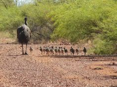 Aussie family - the male emu takes responsibility for sitting on the eggs and rearing the chicks.  A friend told me the story of a father emu going through an electric fence and getting zapped four times to retrieve his chicks on remote Boolathana Station in The Gascoyne, near Carnarvon - now that's fatherly love