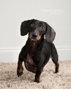 Adopt Keesler On Doxie Puppies Dachshund Rescue Dachshund Dog