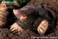 Mole Animal - Bing images