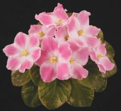 Robs Scrumptious African Violet
