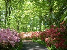 Enjoy an easy stroll through Azalea Woods looking at Kurume azaleas in bloom and learn a little of the history of how they came to Winterthur. Description from gardenblog.winterthur.org. I searched for this on bing.com/images
