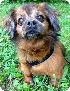 Chihuahua/Pekingese Mix Dog for adoption in Crown Point