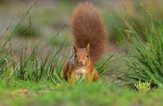 Eekhoorn kijkt recht in de lens - Zoogdieren (vos, muis, etc) - Eekhoorn
