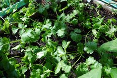 Growing Cilantro at home is easy.  Learn how to grow cilantro in vegetable beds or pots on your deck.