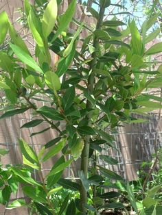 Bay leaf is actually an evergreen tree. It grows well in Southern Nevada and other desert regions. Use in soups, stews, Italian and other dishes.