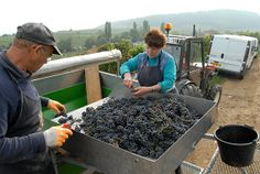 Sorting grapes in the Côte de Beaune, France  |  Ansonia Wines, Harvest Blog 2013