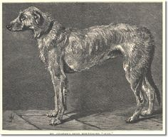 Cassell's Book of the Dog 1881 - Irish Wolfhound 2 Black & White Engraving from 1881 Cassell's The Book of the Dog Painting