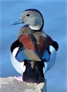 The Ringed Teal Duck, endemic to South America,