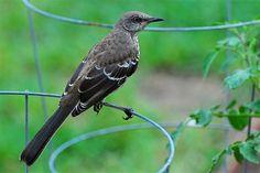 Northern Mockingbird - Backyard - BirdWatching Daily - BirdWatching Community
