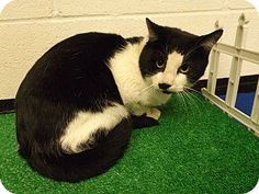 **ULTRA URGENT** ***PLEASE ASK FOR A HOLD TO BE PUT ON IF YOU CAN SAVE!!!*** HANDSOME ADULT MALE BLACK/WHITE TUXEDO, (ID# 2297). AT FLOYD COUNTY ANIMAL CONTROL, 431 MATHIS ROAD, ROME, GA (706) 236-4545 & (706) 236-4537. jbroome@floydcountyga.org