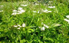 Wasserfenchel, vietnamesisch (Pflanze) auch für Schattenplätze, Winterhart Diese Wasserpflanze breitet sich im seichten Wasser durch Ausläufer aus (Stolonen). Wächst aber auch gut in feuchter Erde. In Vietnam werden die Blätter und jungen Triebe als Gemüse zubereitet. Vor allem die unbeblätterten Sprosse haben aber, finde ich, mehr Geschmack, wenn sie roh sind - etwa wie Sellerie und Engelwurz.