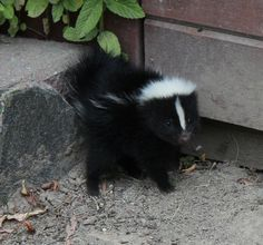 Baby skunk. Tell me you don't want one!!
