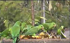 Ornithos Atlantic Rainforest Webcam