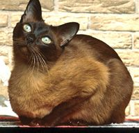 Tonkinese Cat/ a cross between Siamese and Burmese!